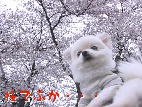 桜には・・・。-1.JPG